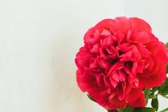 röd pionknopp på en vit bakgrund med copyspace Royaltyfria Bilder