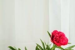 röd pionknopp på en vit bakgrund med copyspace Arkivbilder