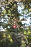 Röd plommon av trädet för Prunuscerasiferanigra fotografering för bildbyråer