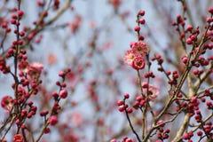 Röd plommonblomma och kulor som blomstrar i solig dag Royaltyfri Bild