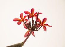 Röd plumeriablomma royaltyfria foton