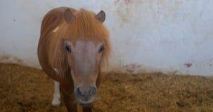 Röd ponny i en stall stock video
