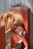 Röd ponny på en lantgård Royaltyfri Foto