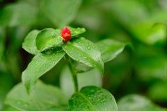 Röd prick på gräsplan Royaltyfria Bilder