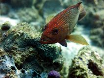 Röd prickig havsaborre Arkivfoto