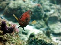 Röd prickig havsaborre Arkivfoton