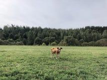 Röd prickig ko som betar på fältet på en sommardag arkivfoto