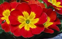 Röd primula, symbol av våren Arkivbild