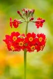 Röd primulabullesiana som blommar i sommar Arkivbild