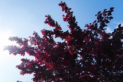 Röd Prunus med solljus och bakgrund för blå himmel royaltyfria bilder