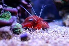 Röd räka i marin- akvarium Arkivbilder