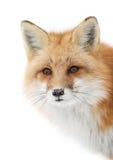 Röd räv Royaltyfri Fotografi