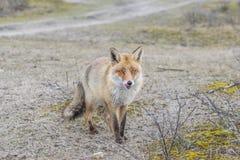 Röd räv Fotografering för Bildbyråer