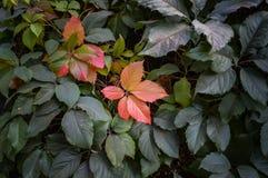 Röd räv av lösa druvor på en grön bakgrund Fotografering för Bildbyråer