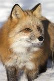 Röd räv för närbild Arkivfoto