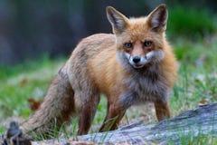 Röd räv i äng Royaltyfri Foto