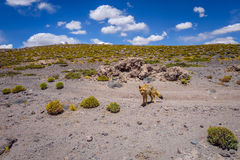 Röd räv i den Altiplano öknen, sudLipez reserva, Bolivia Arkivfoton
