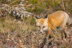 Röd räv i den storslagna Teton nationalparken arkivfoton