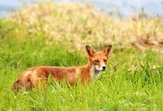 Röd räv i ett grönt gräs Arkivfoton