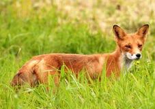 Röd räv i ett grönt gräs Royaltyfri Fotografi