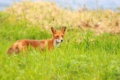 Röd räv i ett grönt gräs Arkivfoto
