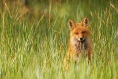 Röd räv i gräs Royaltyfri Foto