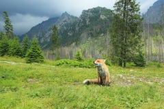 Röd räv i höga Tatras Royaltyfri Foto