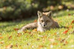 Röd räv i höst Arkivfoto