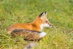 Röd räv i nedgången Royaltyfri Bild