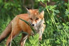 Röd räv i skog arkivfoto