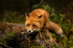 Röd räv i skogen Arkivbilder