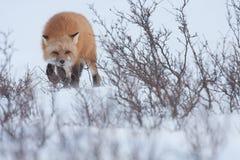 Röd räv i snön Arkivbild