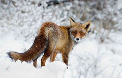 Röd räv i snowen Arkivbilder