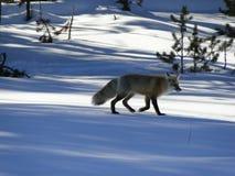 Röd räv på den nya snön Arkivbild