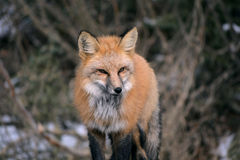 Röd räv på en snöig dag Royaltyfri Fotografi