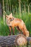 Röd räv på logga Arkivbild