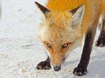 Röd räv på stranden Royaltyfria Bilder