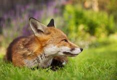 Röd räv som ligger i trädgården med blommor Arkivbild