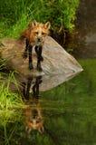 Röd räv som stirrar på kameran Arkivfoton