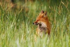Röd räv som vilar i högt gräs Arkivfoto