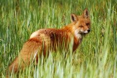 Röd räv som vilar i högt gräs Fotografering för Bildbyråer