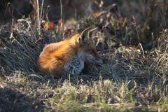 Röd räv som vilar på kanten av fältet Arkivbild