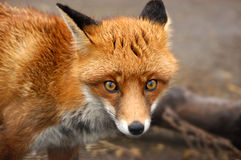 Röd räv, UK Arkivbild