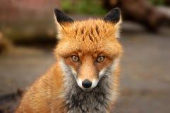 Röd räv, ulpesVulpes, UK Arkivfoto