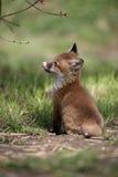Röd räv, Vulpesvulpes Arkivbilder