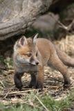 Röd räv, Vulpesvulpes Arkivfoton