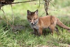 Röd räv, Vulpesvulpes Fotografering för Bildbyråer