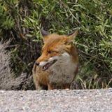 Röd räv (Vulpesvulpes) i bergen av Korsika, Frankrike Arkivfoto