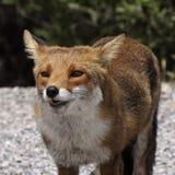 Röd räv (Vulpesvulpes) i bergen av Korsika, Frankrike Royaltyfri Fotografi