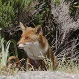 Röd räv (Vulpesvulpes) i bergen av Korsika, Frankrike Royaltyfri Bild